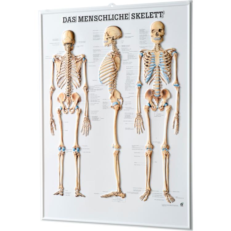 """Relieftafel """"Das Menschliche Skelett"""""""