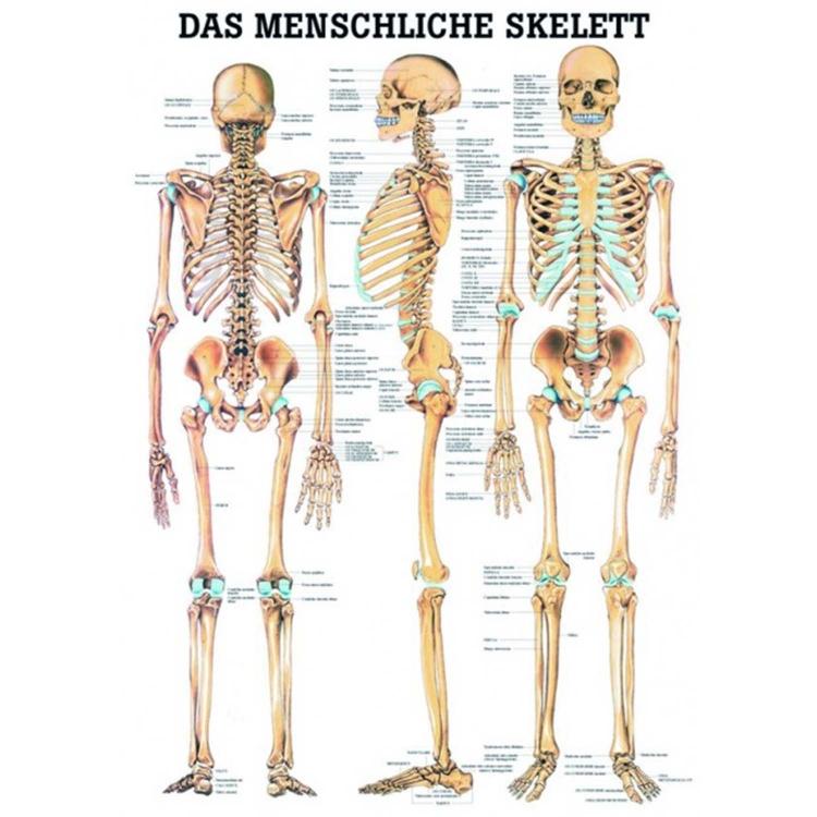 """Miniposter """"Das menschliche Skelett"""""""