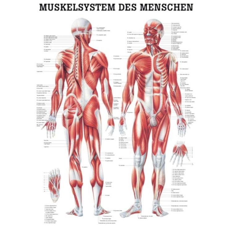 "Miniposter ""Muskelsystem des Menschen"""