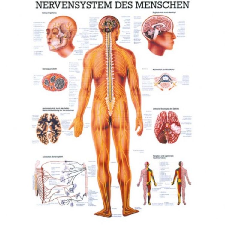 """Miniposter """"Nervensystem des Menschen"""""""