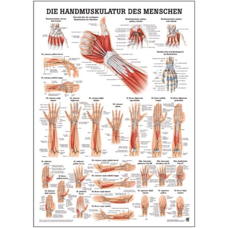 "Miniposter ""Handmuskulatur des Menschen"""