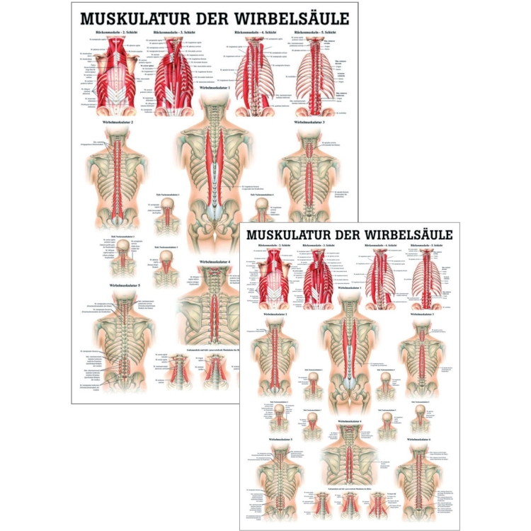 """Miniposter """"Die Muskulatur der Wirbelsäule"""""""