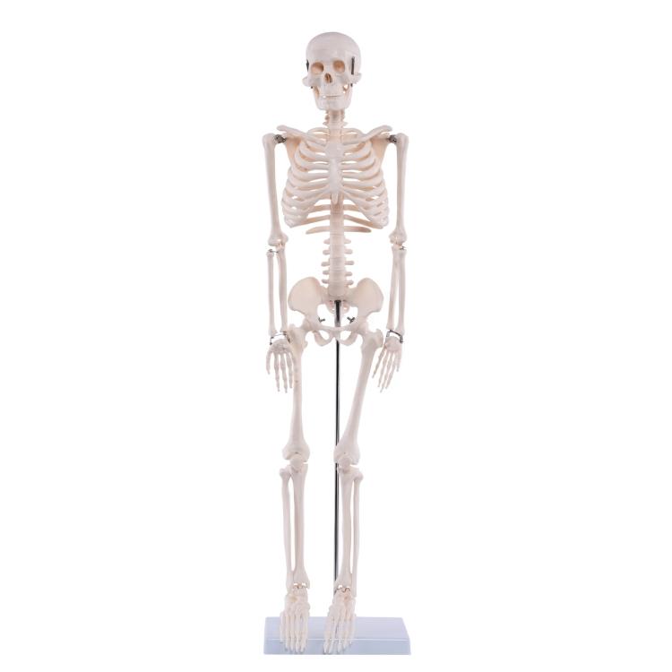 Medi-Skelett