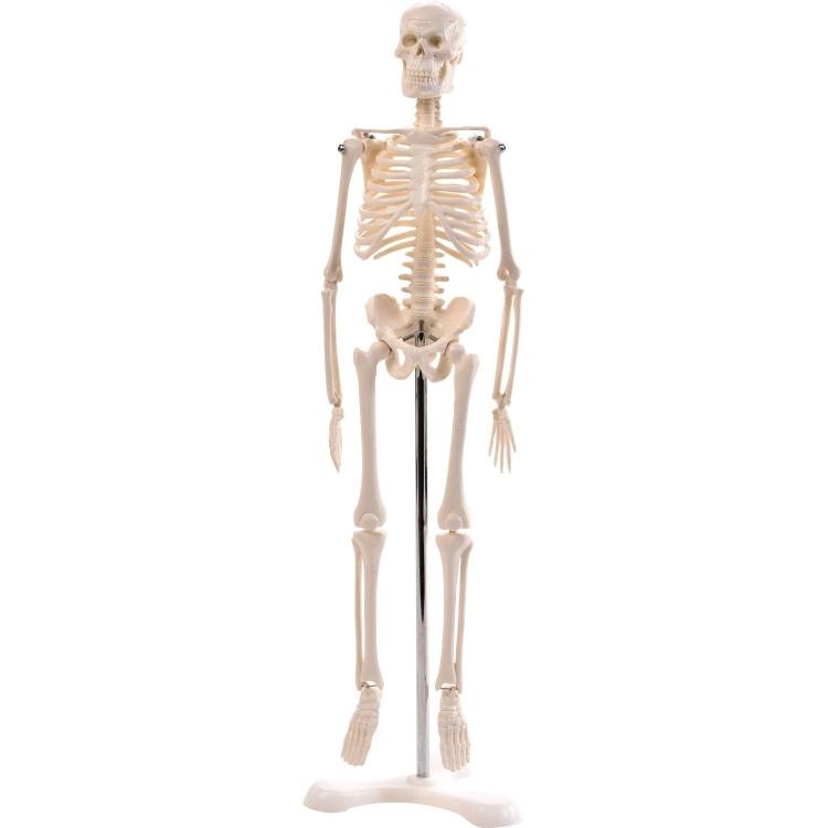 Mini Skelett mit Stativ, 45cm - Anatomie Modell, Skelette
