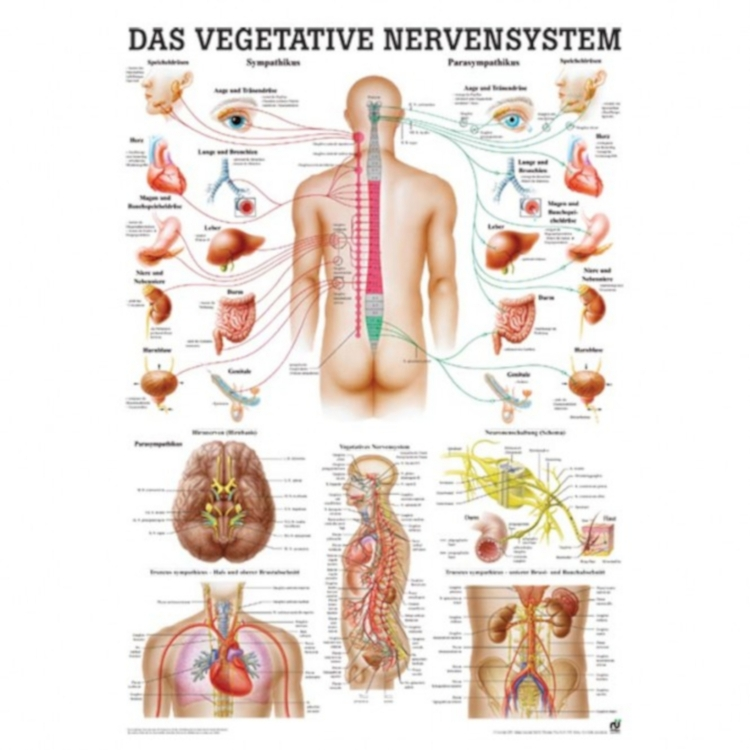 "Miniposter ""Vegetatives Nervensystem"""