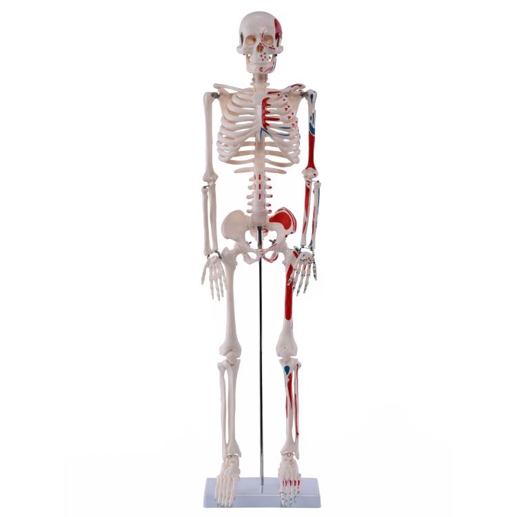 Medi-Skelett mit Muskelbemalung, ca. 85 cm