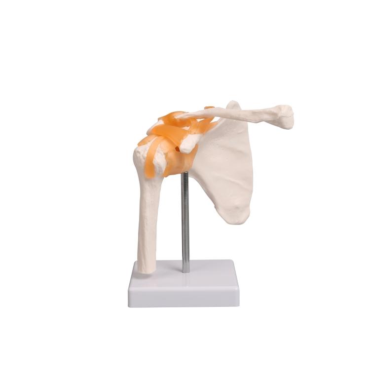 Anatomisches Schulter-Modell mit Schulterblatt