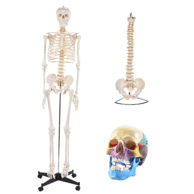 Öffne Anatomie Set 5