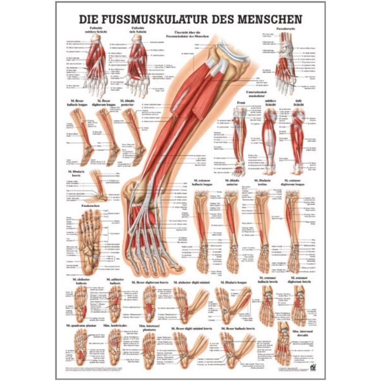 """Miniposter """"Fuß-Muskulatur des Menschen"""""""