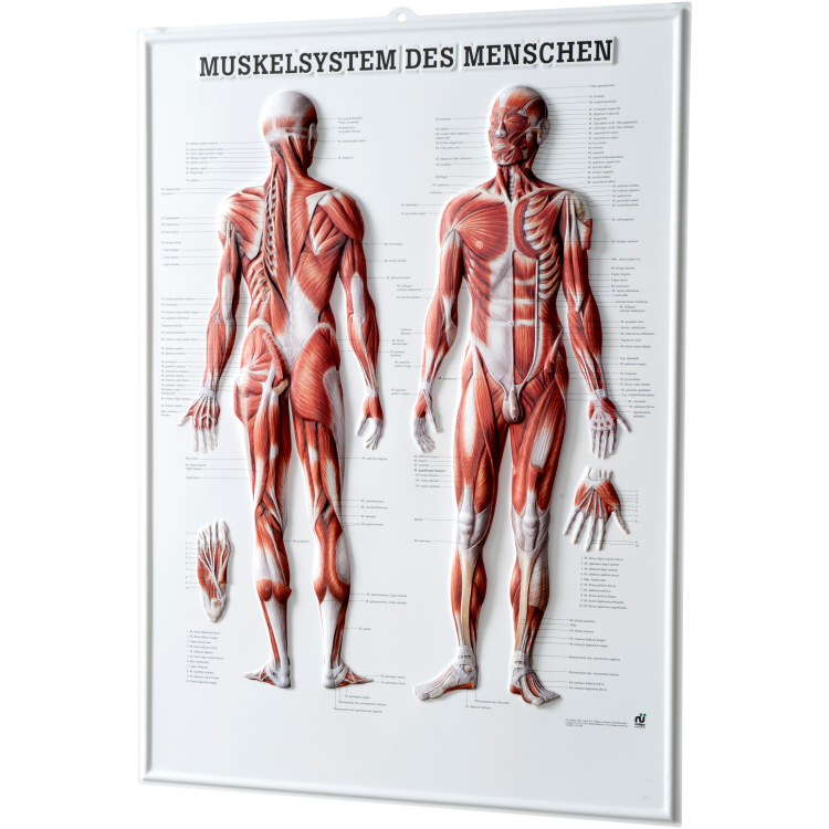 """Öffne Relieftafel """"Muskelsystem des Menschen"""""""