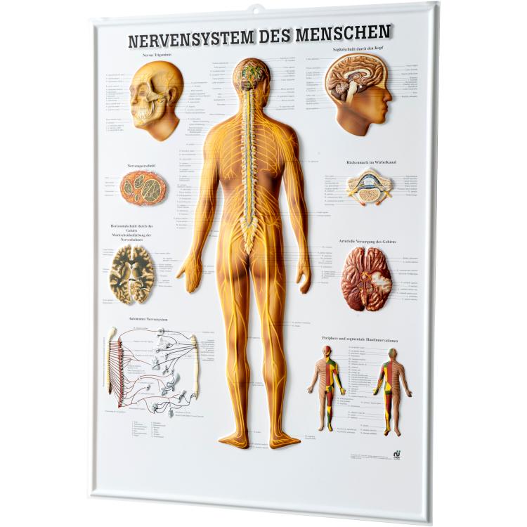 """Öffne Relieftafel """"Nervensystem des Menschen"""""""