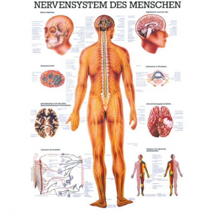 "Öffne Poster ""Nervensystem des Menschen"""