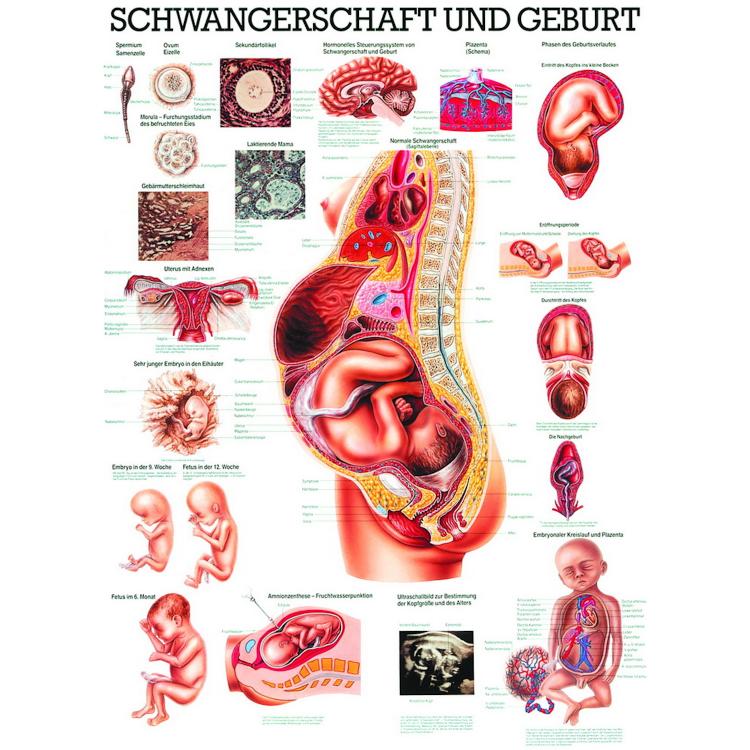 """Öffne Lehrtafel """"Schwangerschaft & Geburt"""""""