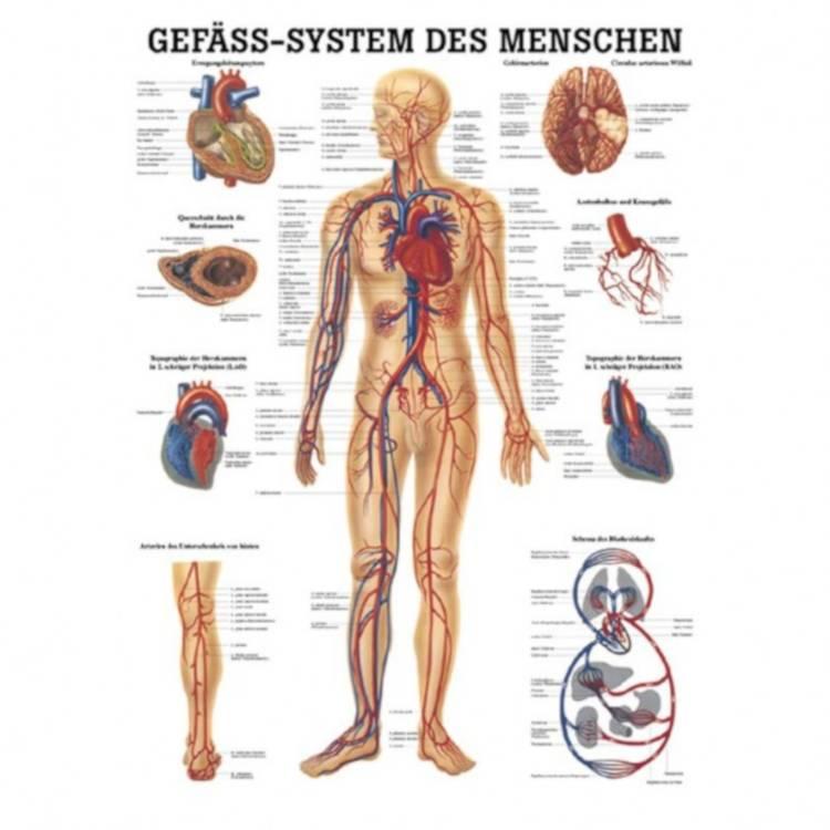 """Öffne Miniposter """"Gefäß-System des Menschen"""""""
