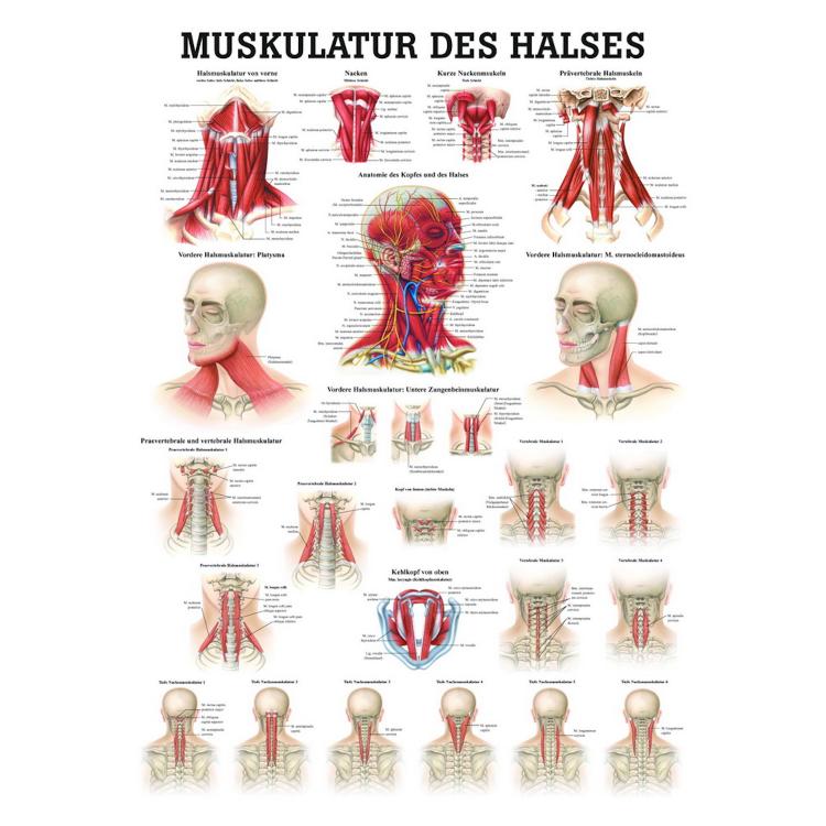 "Öffne Miniposter ""Muskulatur des Halses"""