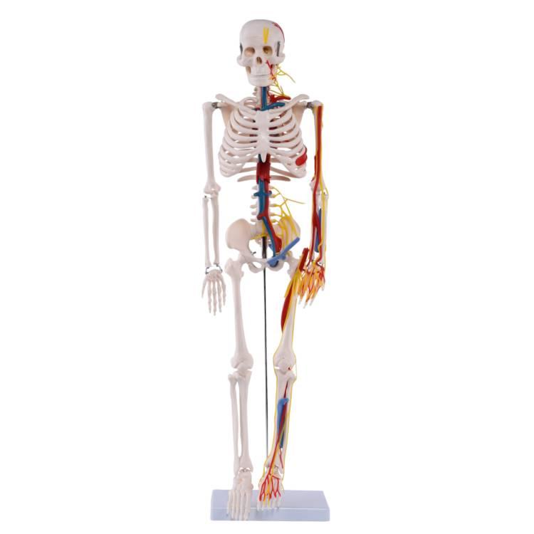 Öffne Medi-Skelett mit Nerven