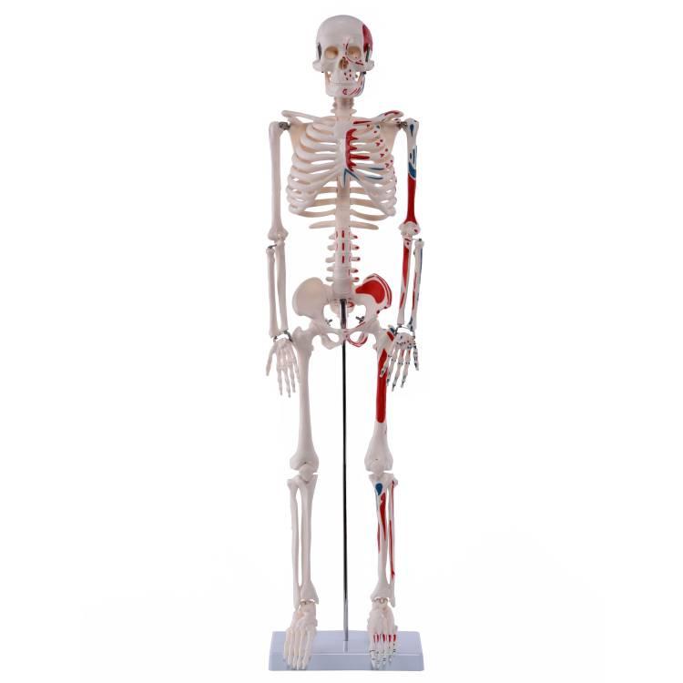 Öffne Medi-Skelett mit Muskelbemalung, ca. 85 cm