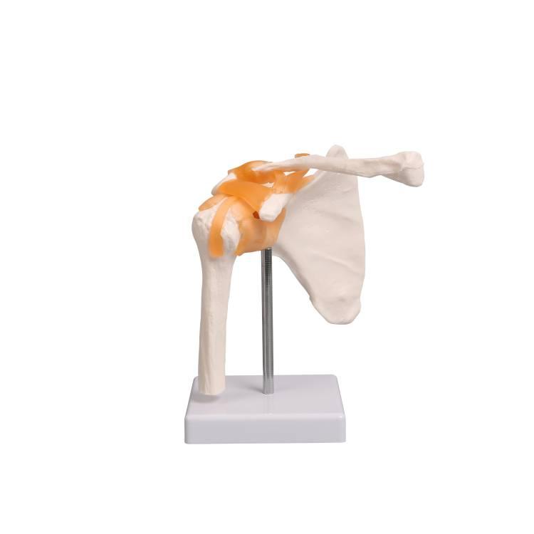 Öffne Anatomisches Schulter-Modell mit Schulterblatt