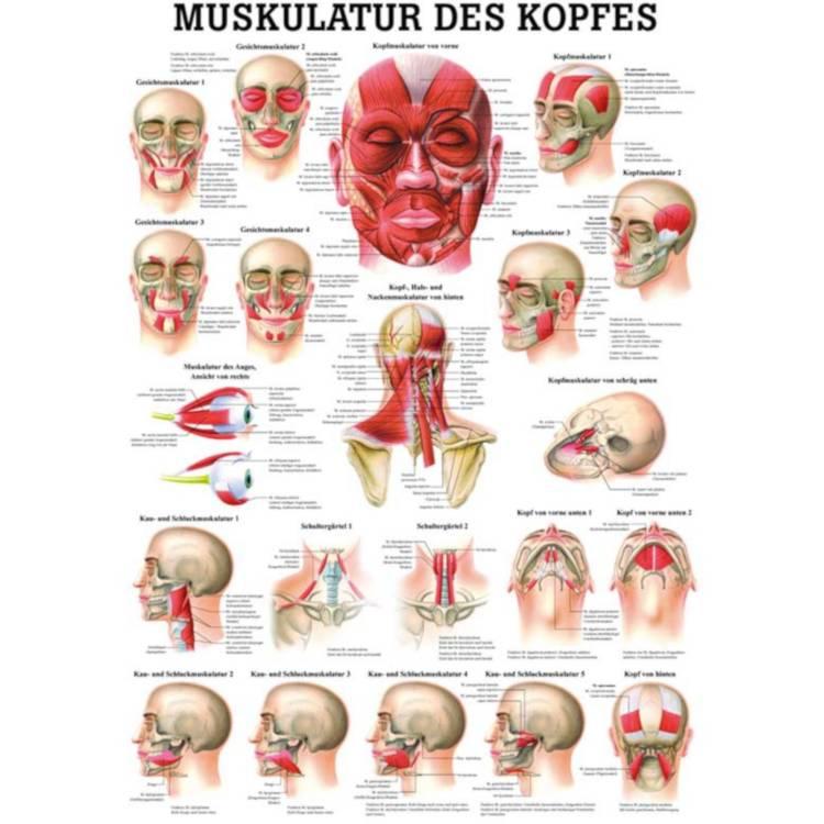 "Öffne Miniposter ""Muskulatur des Kopfes"""