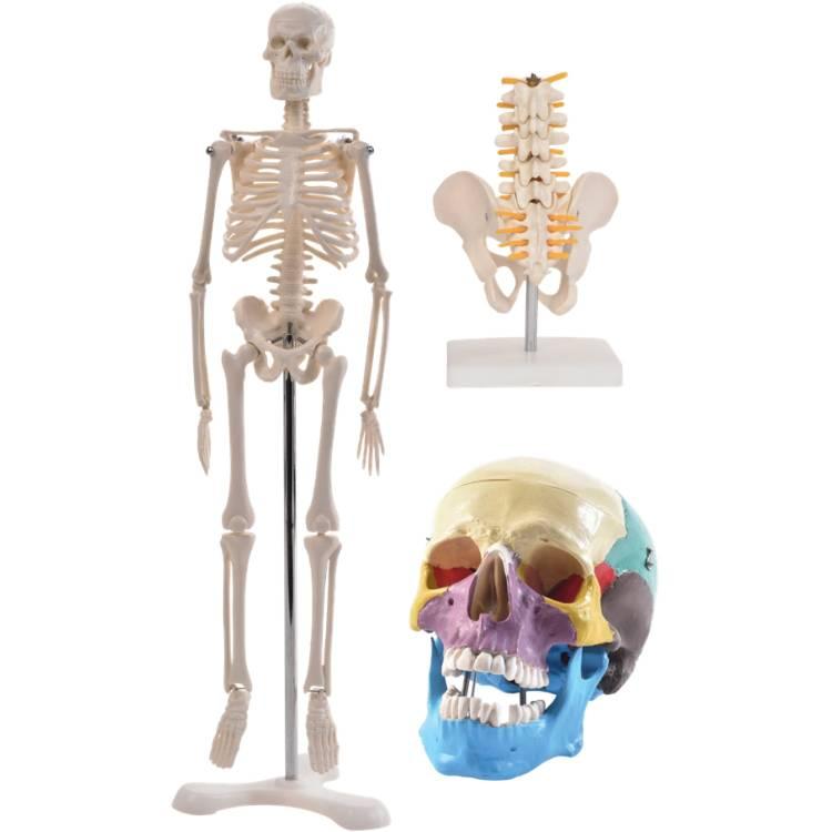 Öffne Anatomie Set 2