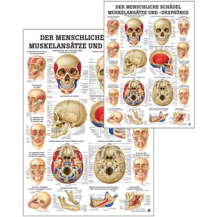 """Öffne Lehrtafel """"Der menschliche Schädel, Muskelansätze und Ursprünge"""""""