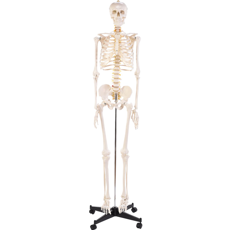 Physio Express | Menschliches Skelett | online Shopping für ...
