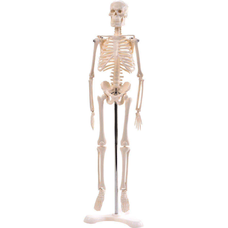 Physio Express | Mini-Skelett | online Shopping für Medizintechnik