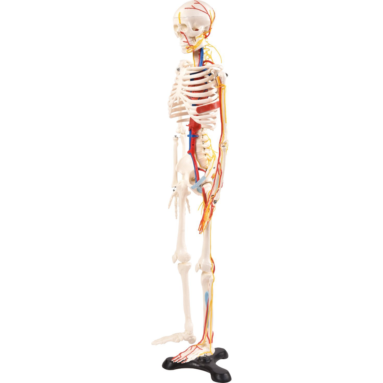 Physio Express   Medi-Skelett mit Nerven   online Shopping für ...