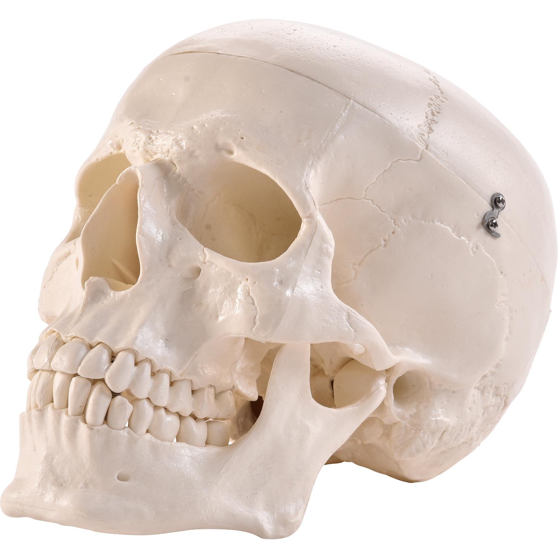 Physio Express   Anatomischer Menschlicher Schädel   online Shopping ...